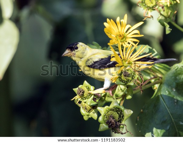 Closeup of a yellow and black American Goldfinch perching on Yellow Jerusalem Artichoke flowers in summer,Ontario. The scientific name of this beautiful bird is Carduelis tristis.