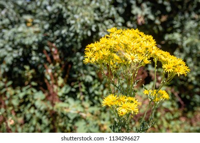 Closeup of a yellow blooming common ragwort or Jacobaea vulgaris plant growing in wild nature. On the flowers pappus of a thistle has just landed.