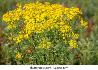 Closeup of a yellow blooming Ragwort or Jacobaea vulgaris plant growing in the wild of a Dutch nature reserve. It is early in the morning in the summer season and the sun is still low in the sky.