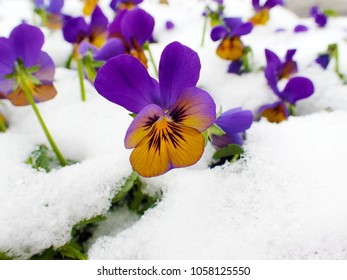 a closeup of yellow blue purple viola under unexpected white cover of snow in the spring against snowy winter background