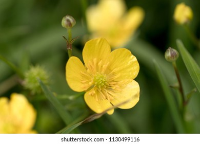 Closeup yellow buttercup flowers in the grass. Ranunculus