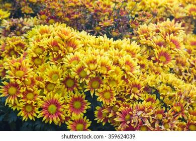 Closeup of yellow chrysanthemums
