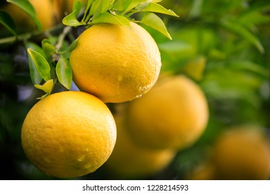 Closeup of yellow citrus fruit growing on tree