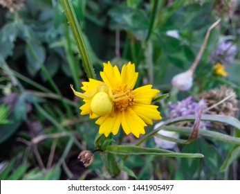 Closeup of a yellow Crab Spider on a yellow flower. An example of mimicry in nature