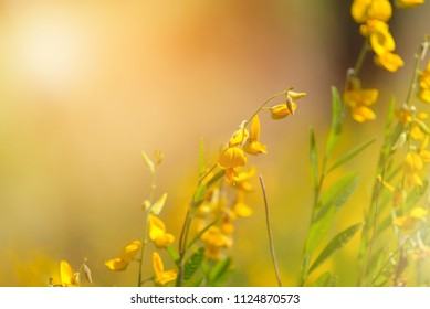 Close-up Yellow Crotalaria juncea flower with blurred Sunn hemp or Crotalaria juncea on background