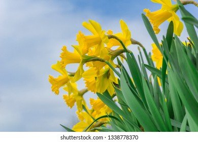 Close-up of Yellow Daffodils in the Morning. View of growing Daffodils. Yellow Daffodil Flowers. Easter Flowers.