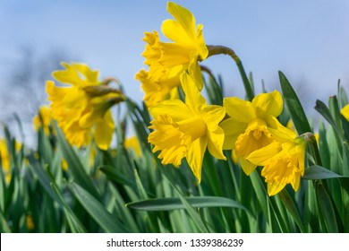 Close-up of Yellow Daffodils (narcissus) in the Morning. View of beautiful growing Daffodils. Yellow Daffodil Flowers. Easter Flowers. Blooming Daffodils .