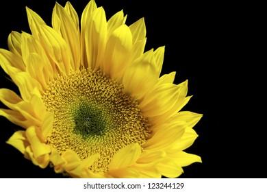 Closeup of yellow Dahlia against black background