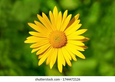 closeup of yellow daisy flower head on green background under sunlight