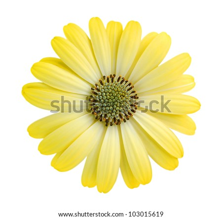 Closeup Yellow Daisy Flower Isolated On Stock Photo Edit Now