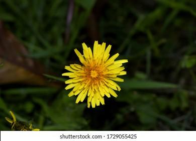 Cierre de un diente de león amarillo con insecto sobre un pétalo, en el fondo del jardín.