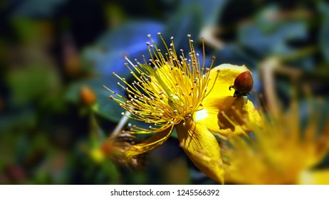 Close-up yellow flower with stamens in the center and shiny little leaves around. The stamens have at the end small round dust pollen and the background is soft and very soft.