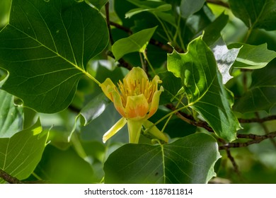 Tulip poplar tree images stock photos vectors shutterstock a close up of the yellow flower of a tulip tree liriodendron tulipifera mightylinksfo
