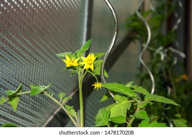 close-up of yellow flowering tomato plant in a greenhouse