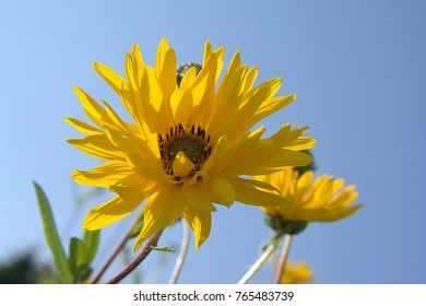 Closeup yellow flowers arnica montana on blurred background