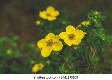 Close-up of yellow flowers. Lovely yellow medicinal flower on green background. Copy space