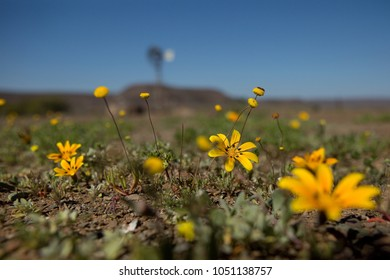 Closeup of yellow flowers sprouting from the arid ground in the karoo dessert.