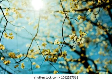 Closeup of yellow forsythia flowers or winter Jasmin flowers