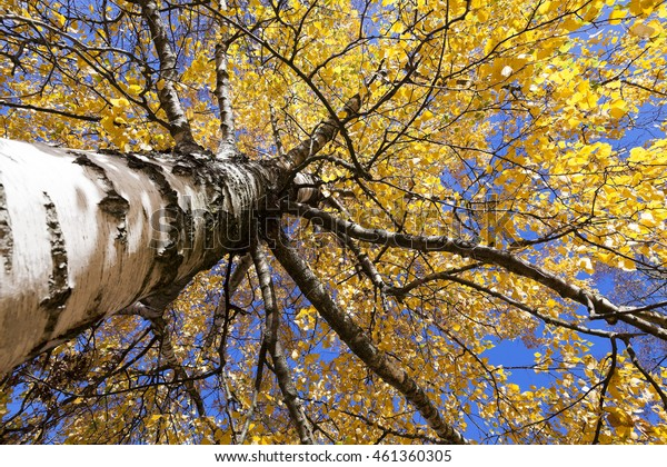 Close-up of yellow leaves on the top of a birch tree in autumn season