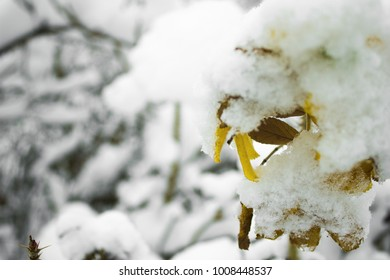 Closeup of a yellow leaves of rowan tree under the snow in Park at winter, mountain ash