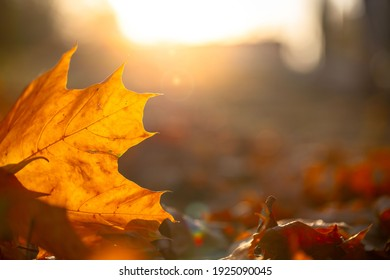 Close-up of a yellow maple leaf in the bright rays of the autumn sun