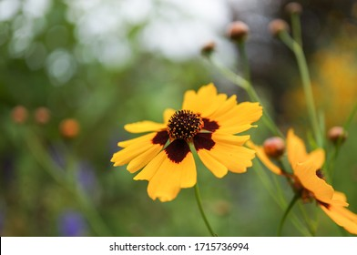 Closeup of yellow and maroon tickseed garden flowers with green background