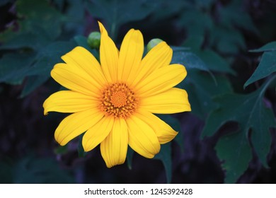Close-up of a yellow Mexican Sunflower or Bua Tong Flower that growing in the public garden in Tung Bua Tong, Mae Hong Son Province, Thailand.