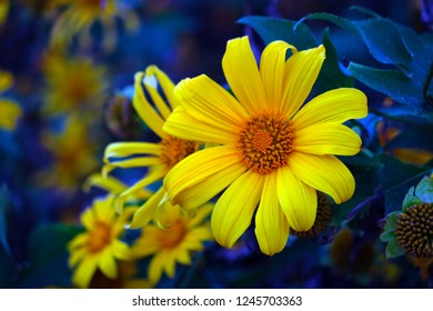 Close-up of a yellow Mexican Sunflower or Bua Tong Flower that growing in the public garden in Tung Bua Tong, Mae Hong Son Province, Thailand, with blue light effect.