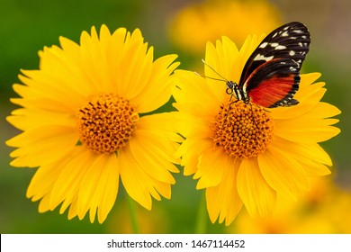 Closeup of yellow Mexican sunflowers with monarch butterfly standing on one of them. Monarch butterfly on yellow flower background.