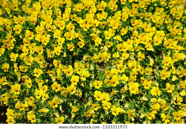 Close-up of yellow petunia flowers in a pot.