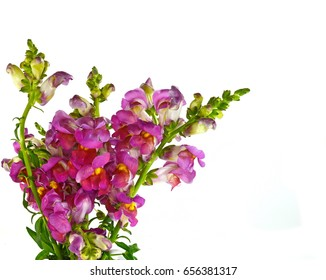 Close-up of yellow, pink and orange flowers of snapdragon (Antirrhinum majus) isolated against a white background