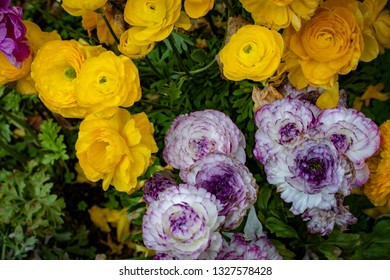 Closeup of Yellow and Purple Ranunculus Flowers Growing in a Country Garden outside of Amsterdam, Netherlands