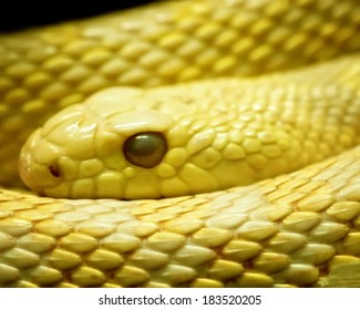 Close-up of a yellow rat snake