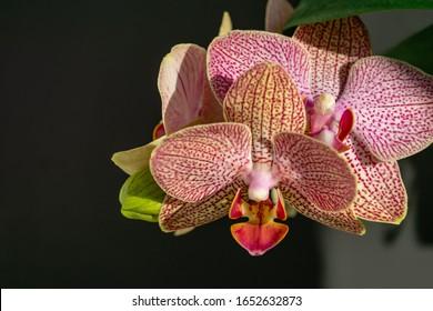 Nahaufnahme von Gelb, Rot, Rosa und Weiß, gestreift mit Punkten oder orchider Blume Phalaenopsis 'Demi Deroose', bekannt als Moth Orchid, auf schwarz-grauem Hintergrund. Selektiver Fokus.