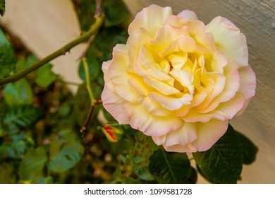 closeup of yellow rose with green leaves in background