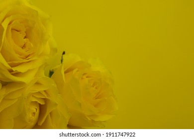 Close-up of yellow rose with green leaves in background