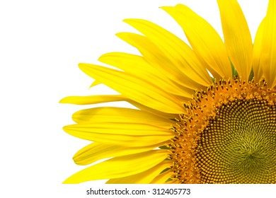 Closeup yellow sunflower petals isolated on write background