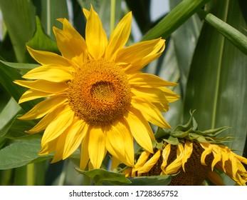 Schließung einer gelben Sonnenblume im Sommer, beleuchtet durch das helle Sonnenlicht