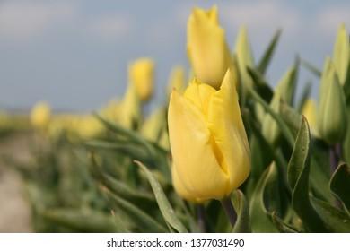 a closeup of a yellow tulip
