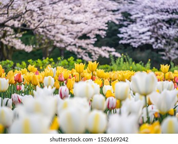 Closeup of yellow tulip flowers with blurry white tulip flowers field or meadow foreground and blury sakura flower blooming in the park or garden background.