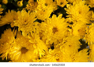 Closeup of yellow vibrant auburn Chrysanthemums bouquet suited as background