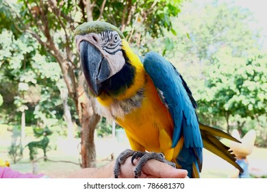 Close-up of a yellow-and-blue macaw on a man's hand