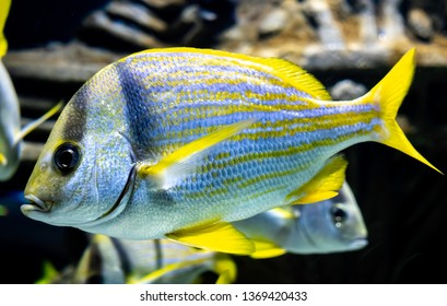 Closeup of a Yellowtail Snapper fish in a large aquarium. This specimen was captured in a school of similar fish.