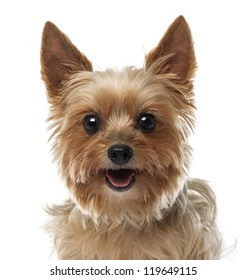 Close-up of Yorkshire Terrier, 9 years old, looking at camera against white background