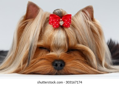 Closeup Yorkshire Terrier Dog with closed eyes Lying on White background