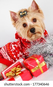 Close-up of Yorkshire Terrier. Meeting Christmas (New Year)