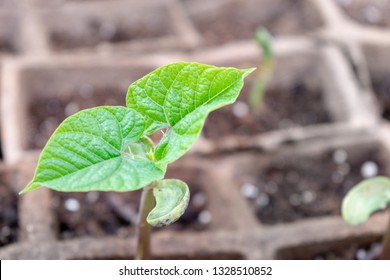 Closeup of young bean sprout growing in a biodegradable planter
