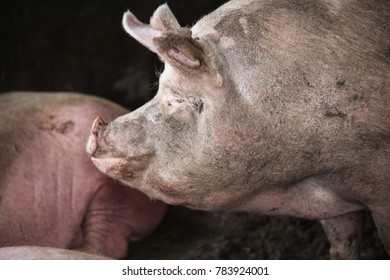 Close-up of a young big domestic pig at animal farm indoors.  Side view head shot close up of mighty pig sow in the barn