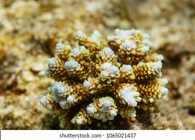 Closeup of young branching coral's  blue white growth tips, Acropora florida