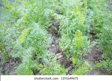 Close-up of young carrots in the kitchen garden